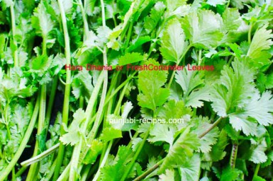 Dhania or Coriander Leaves